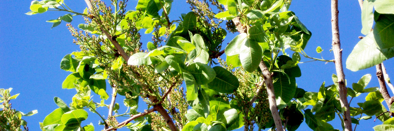 CMV-Farms-Banner-pistachios2.png