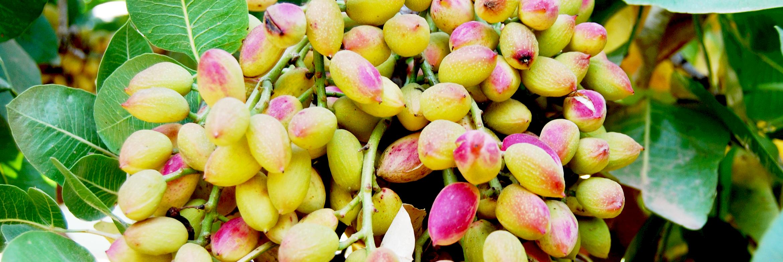 CMV-Farms-Banner-pistachios.png